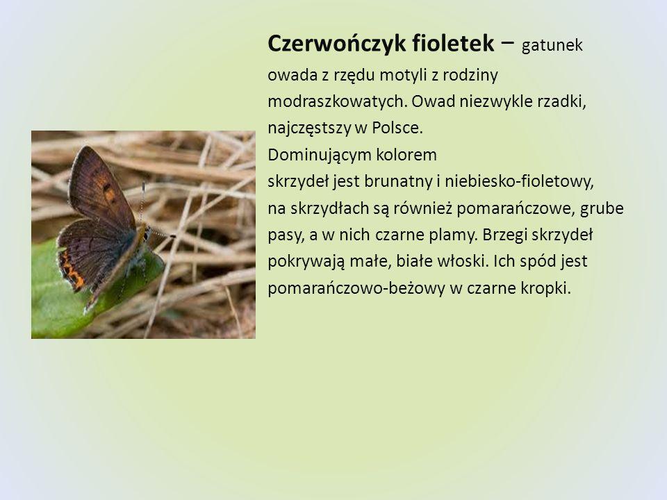 Czerwończyk fioletek − gatunek