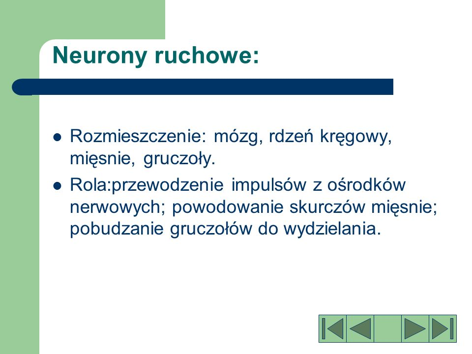 Neurony ruchowe: Rozmieszczenie: mózg, rdzeń kręgowy, mięsnie, gruczoły.