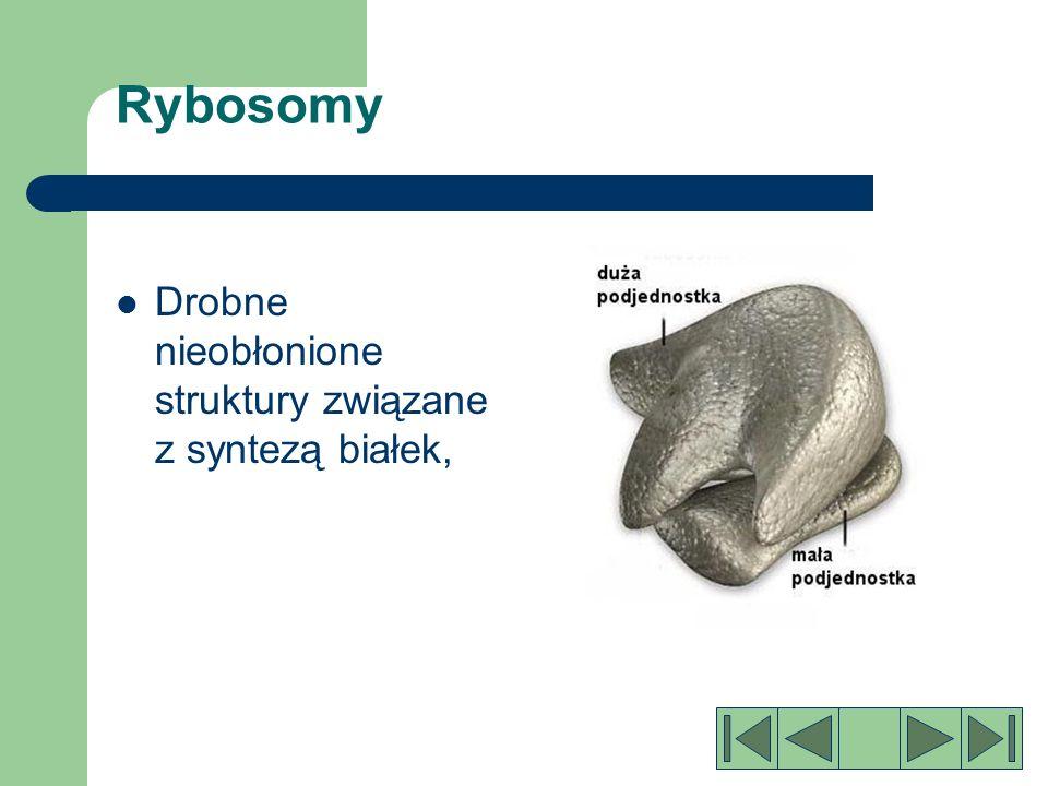 Rybosomy Drobne nieobłonione struktury związane z syntezą białek,