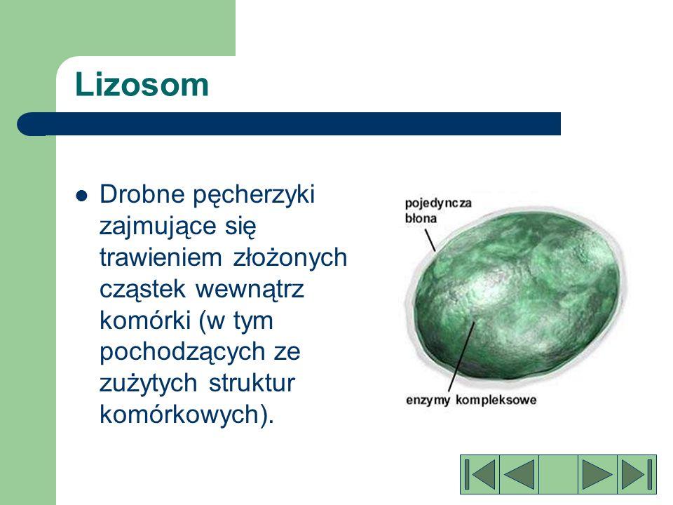 Lizosom Drobne pęcherzyki zajmujące się trawieniem złożonych cząstek wewnątrz komórki (w tym pochodzących ze zużytych struktur komórkowych).