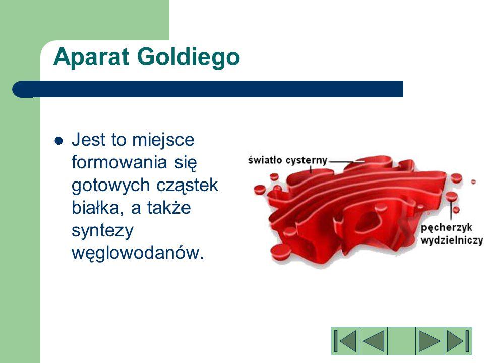 Aparat Goldiego Jest to miejsce formowania się gotowych cząstek białka, a także syntezy węglowodanów.