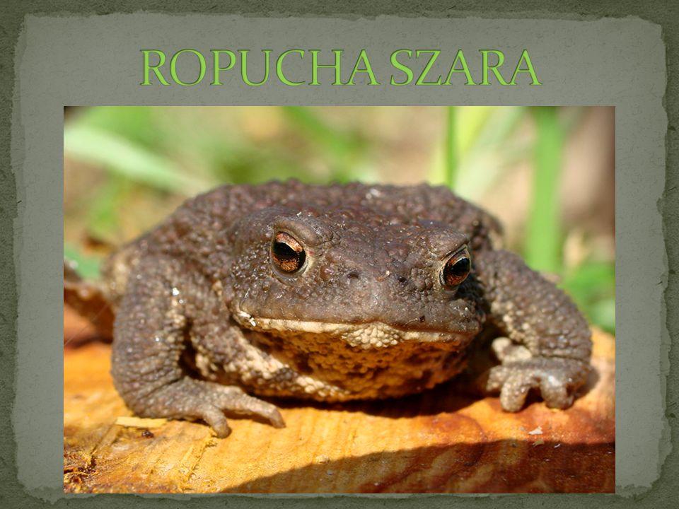 ROPUCHA SZARA