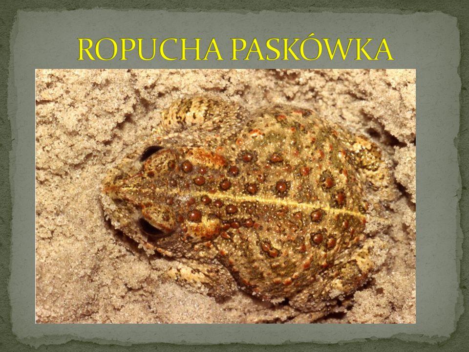 ROPUCHA PASKÓWKA