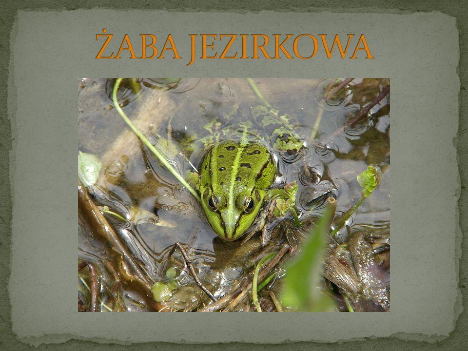 ŻABA JEZIRKOWA