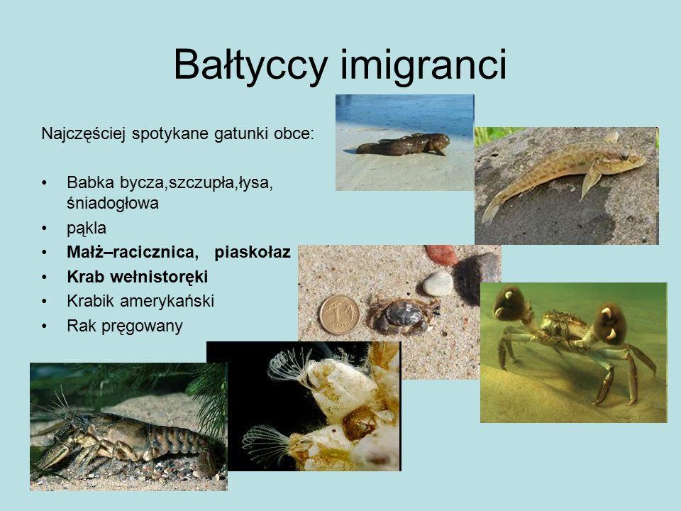 Bałtyccy imigranci Najczęściej spotykane gatunki obce: