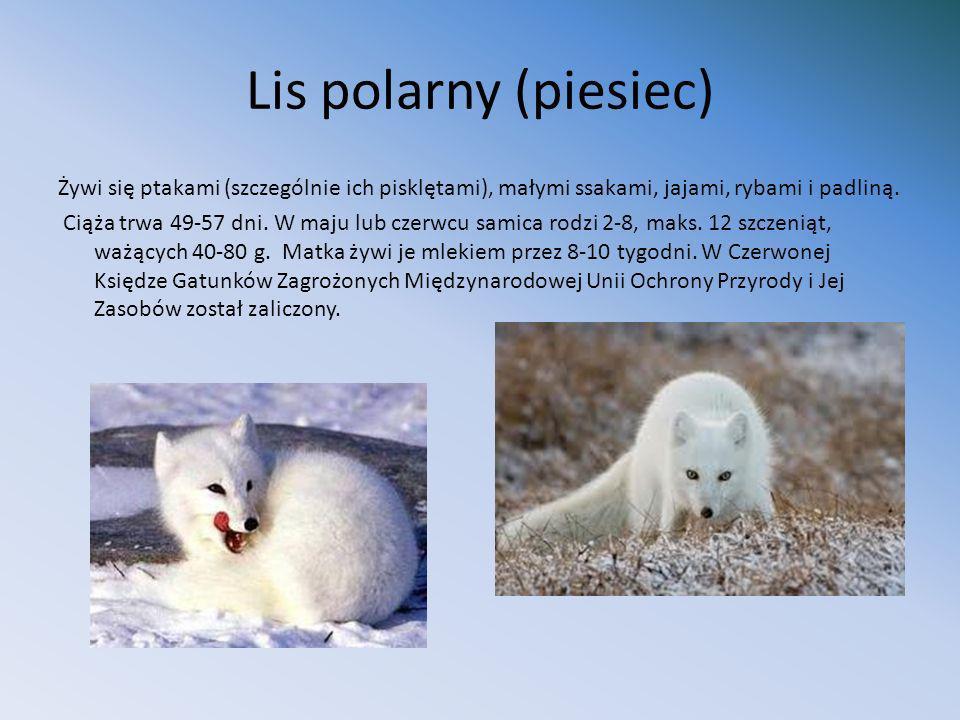 Lis polarny (piesiec)