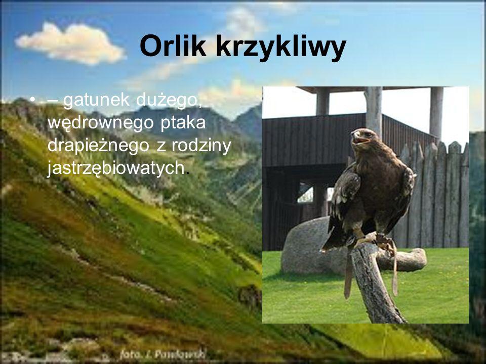 Orlik krzykliwy – gatunek dużego, wędrownego ptaka drapieżnego z rodziny jastrzębiowatych.