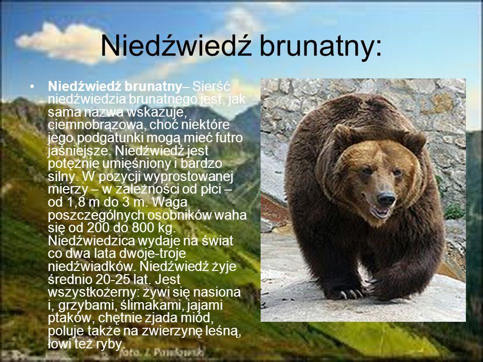 Niedźwiedź brunatny: