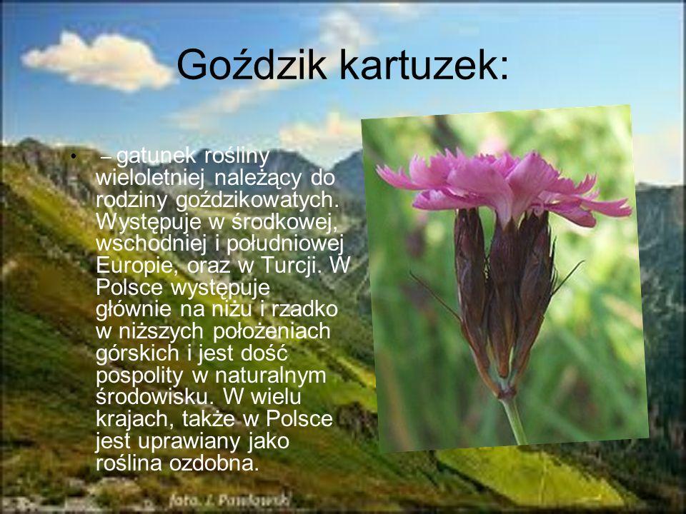 Goździk kartuzek: