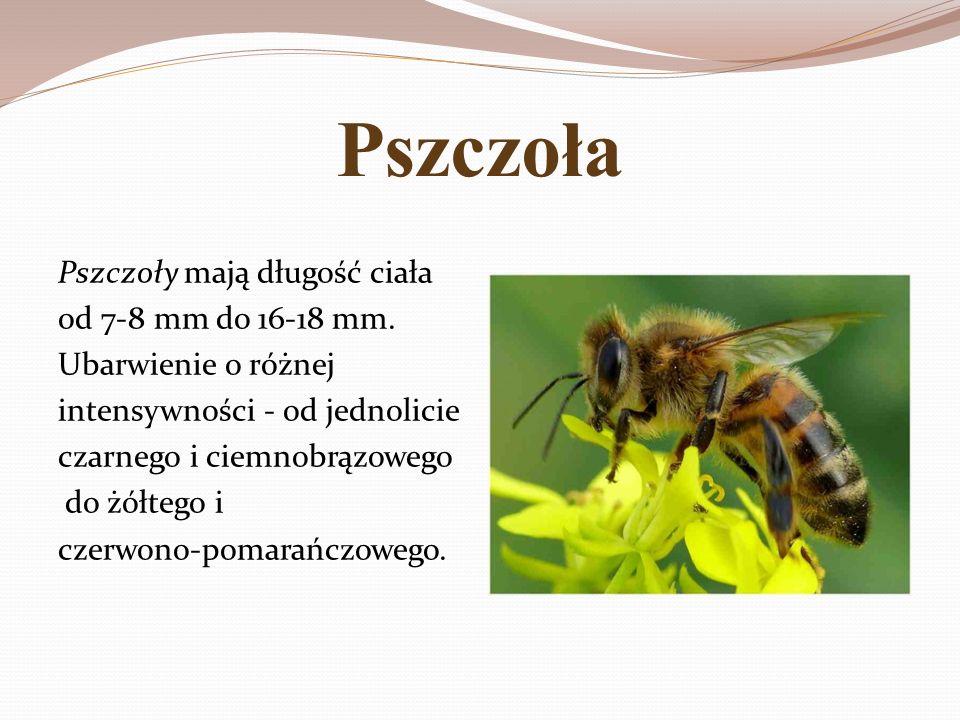 Pszczoła Pszczoły mają długość ciała od 7-8 mm do 16-18 mm.