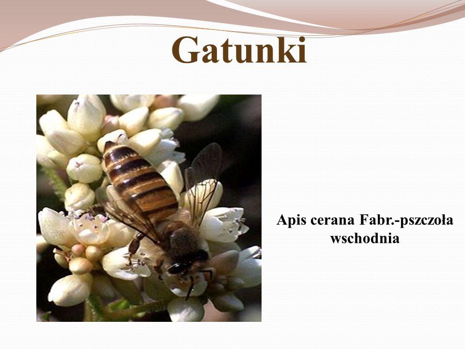 Apis cerana Fabr.-pszczoła wschodnia