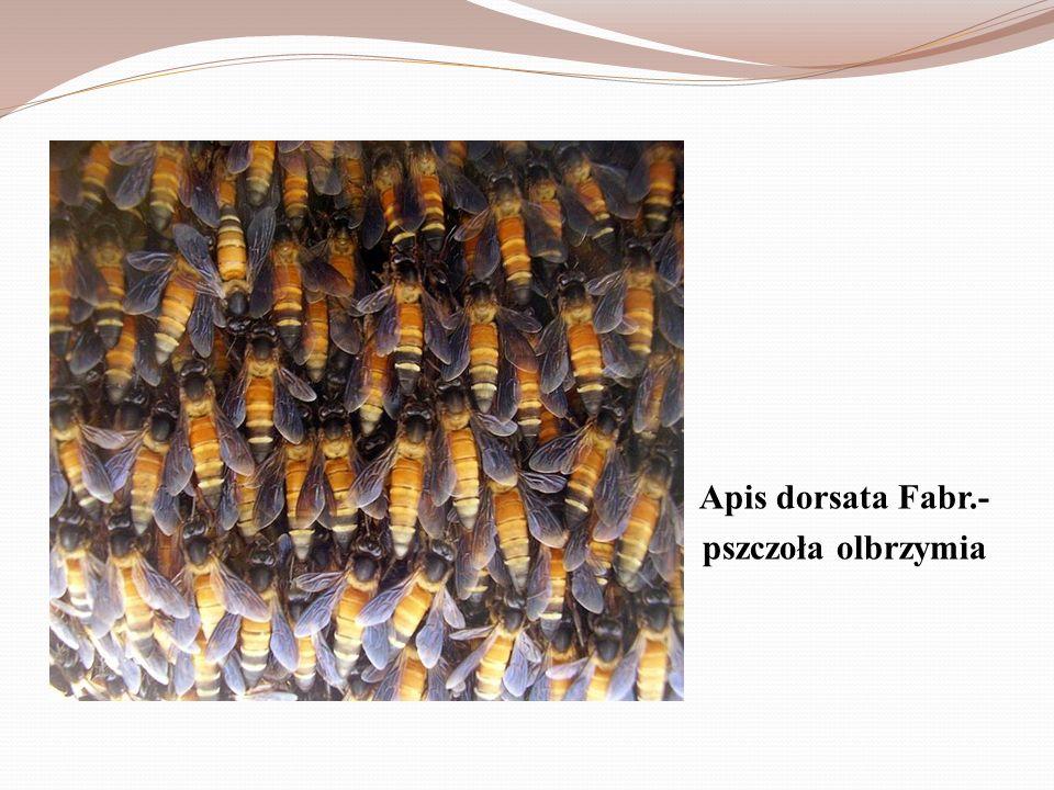 Apis dorsata Fabr.- pszczoła olbrzymia