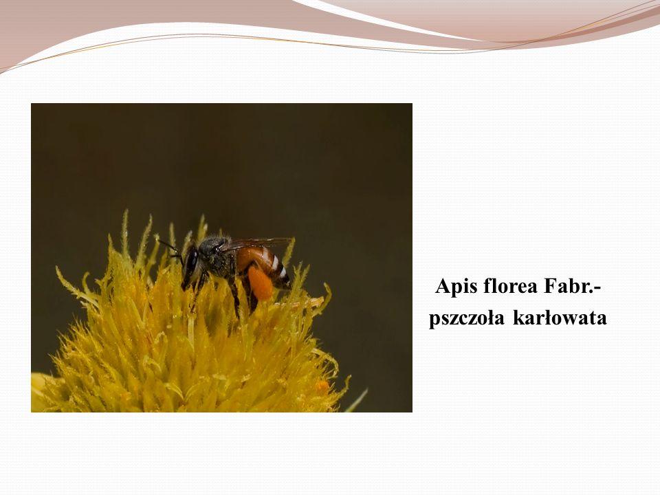 Apis florea Fabr.- pszczoła karłowata