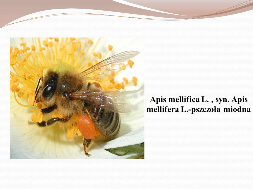 Apis mellifica L. , syn. Apis mellifera L.-pszczoła miodna