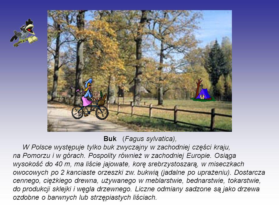 Buk (Fagus sylvatica),