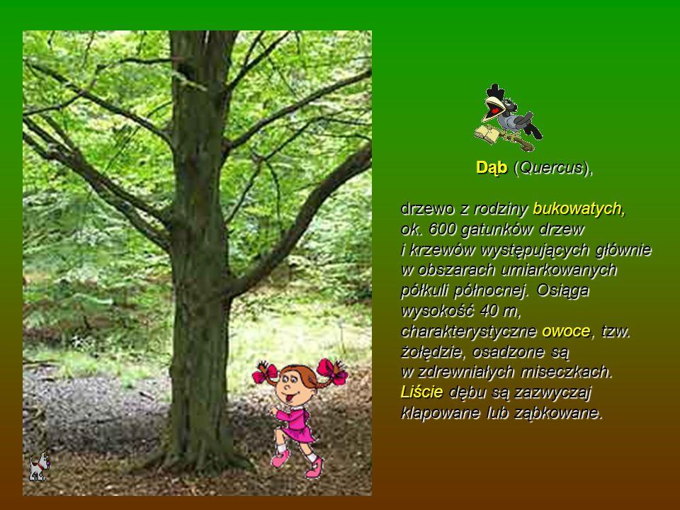 Dąb (Quercus),