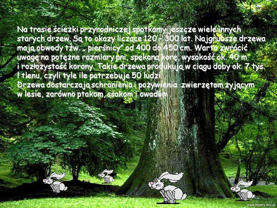 Na trasie ścieżki przyrodniczej spotkamy jeszcze wiele innych starych drzew.