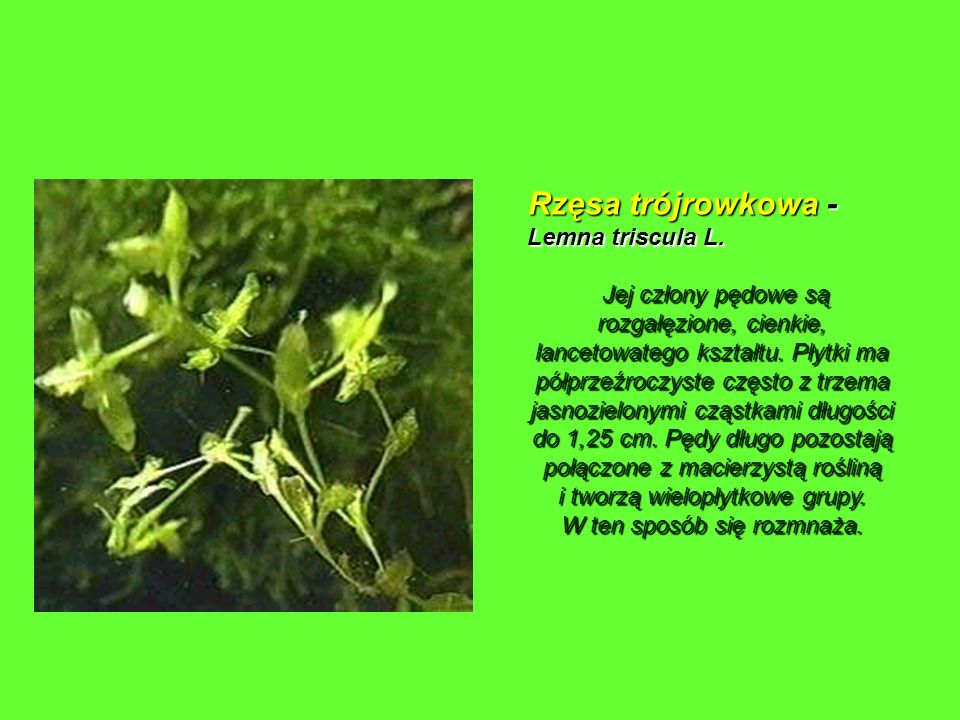 Rzęsa trójrowkowa - Lemna triscula L.
