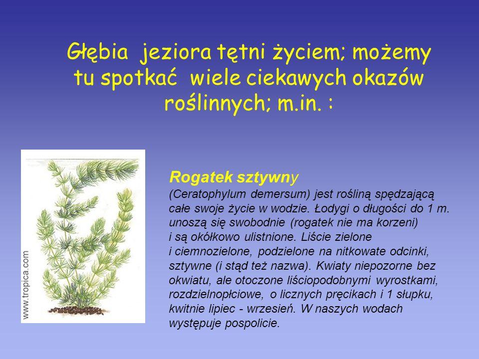 Głębia jeziora tętni życiem; możemy tu spotkać wiele ciekawych okazów roślinnych; m.in. :