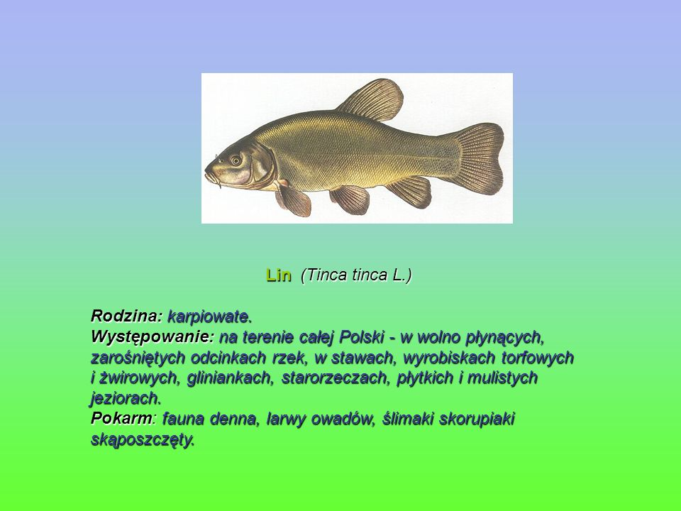 Lin (Tinca tinca L.) Rodzina: karpiowate.