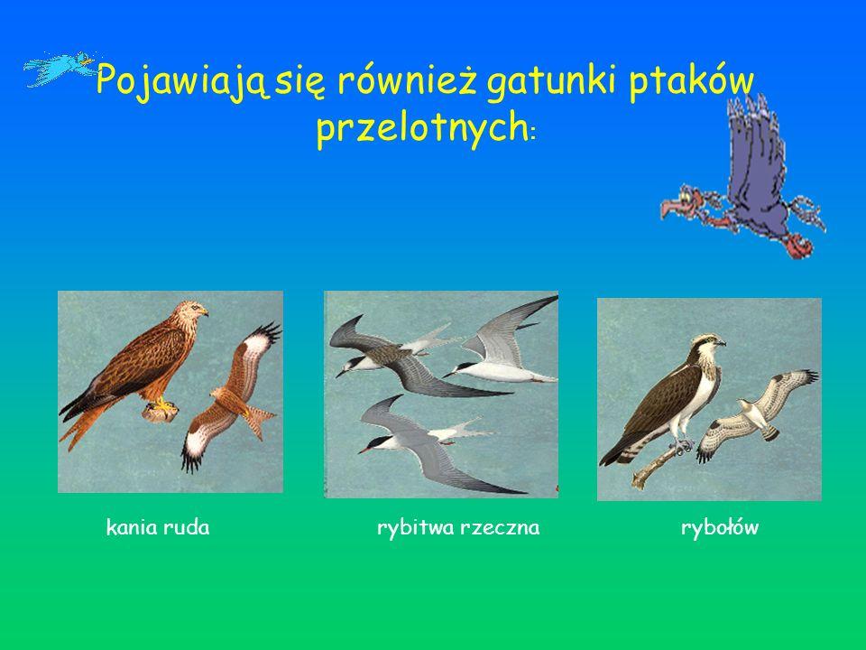 Pojawiają się również gatunki ptaków przelotnych: