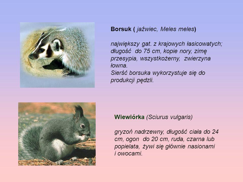 Borsuk ( jaźwiec, Meles meles)