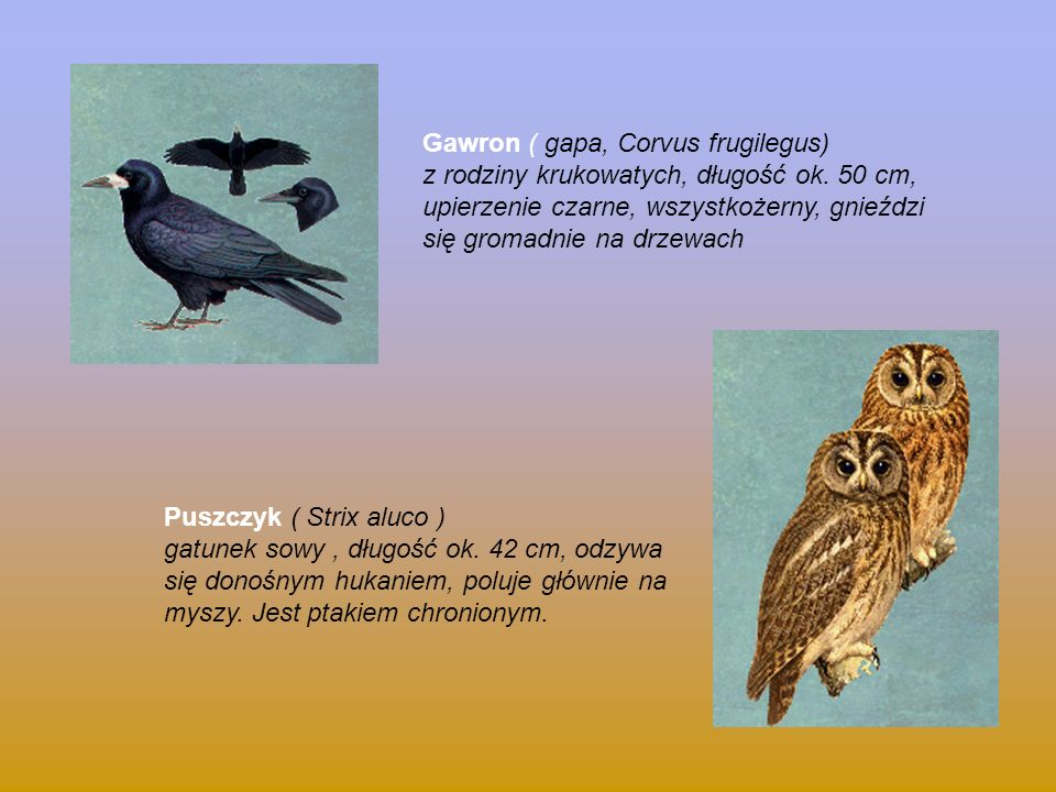 Gawron ( gapa, Corvus frugilegus)