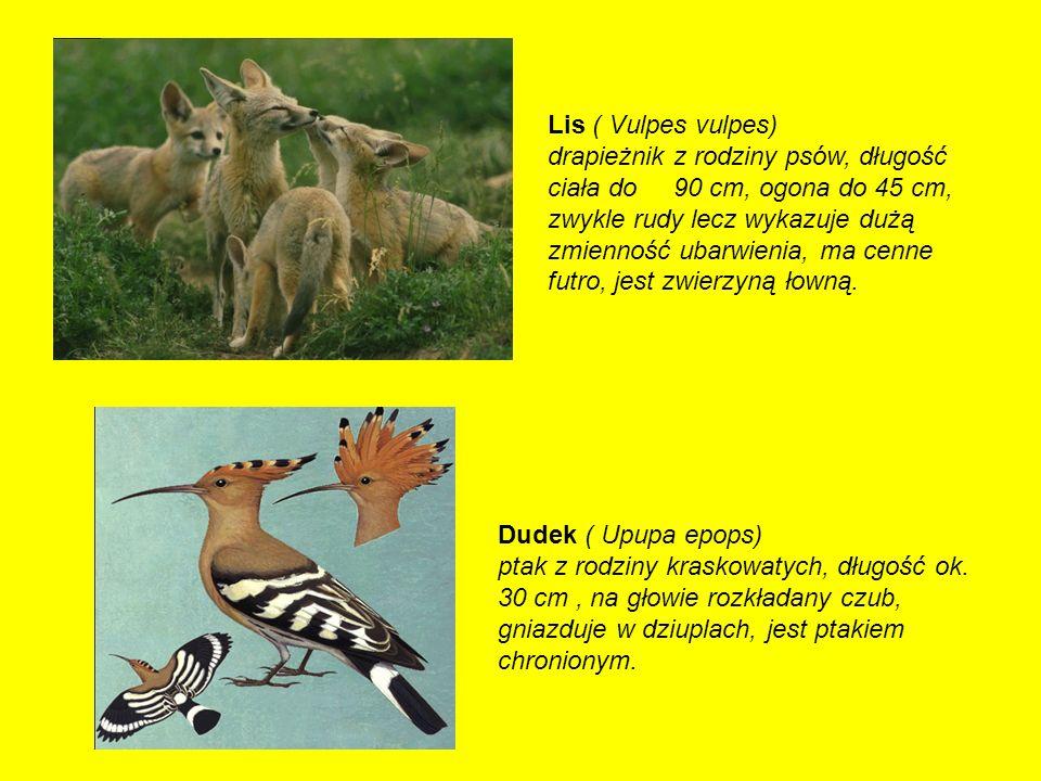 Lis ( Vulpes vulpes)