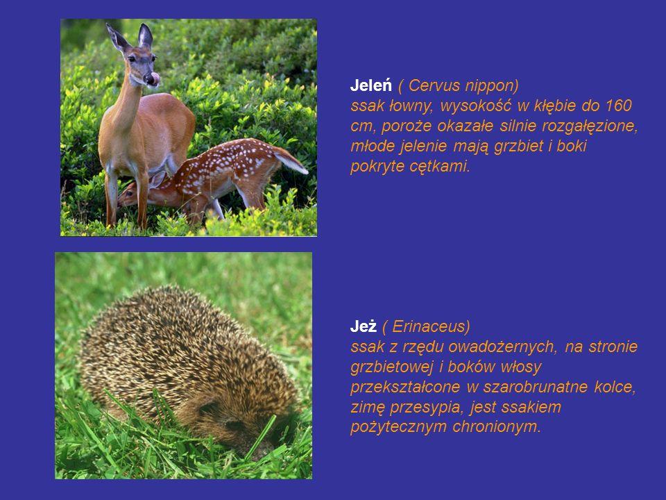 Jeleń ( Cervus nippon)