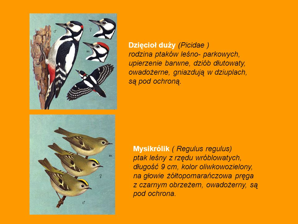 Dzięcioł duży (Picidae )