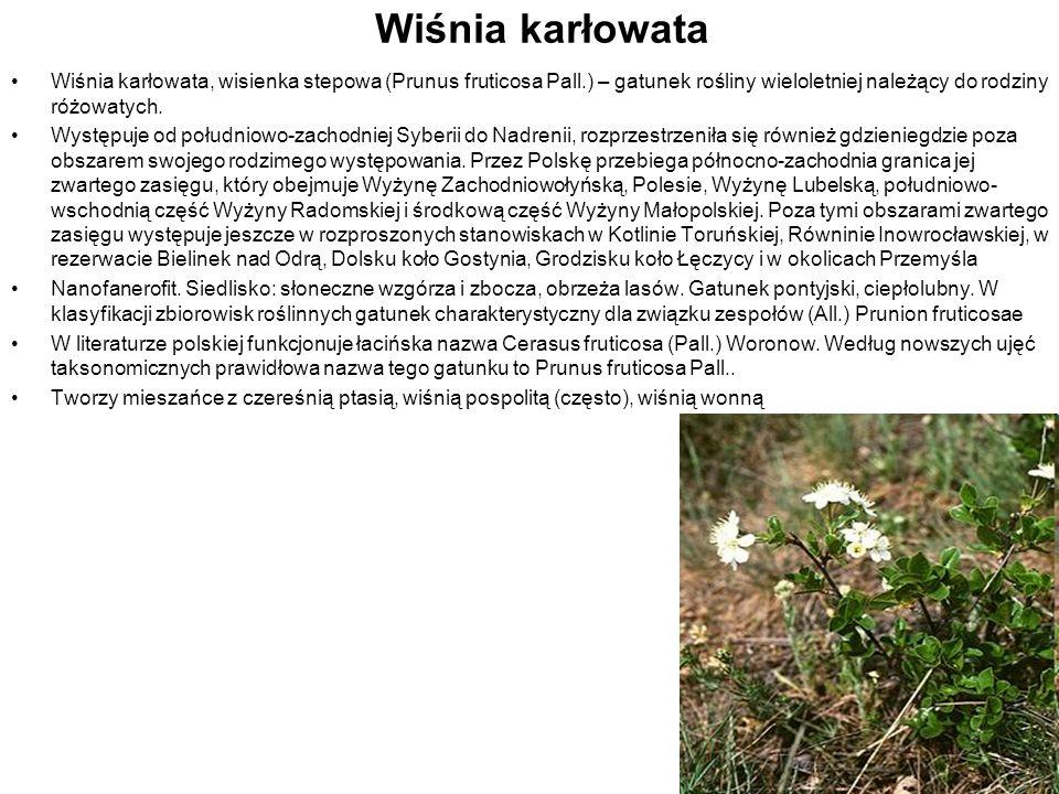 Wiśnia karłowata Wiśnia karłowata, wisienka stepowa (Prunus fruticosa Pall.) – gatunek rośliny wieloletniej należący do rodziny różowatych.
