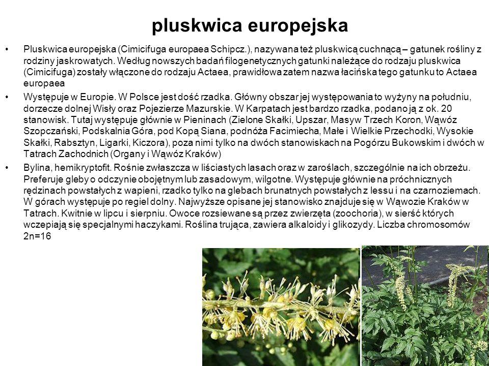 pluskwica europejska