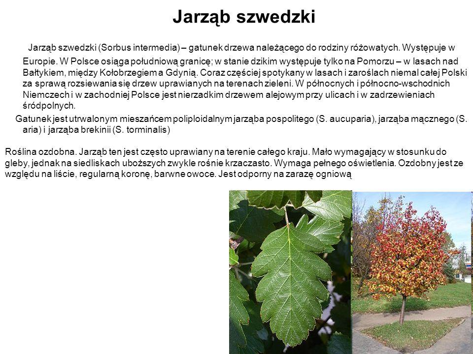 Jarząb szwedzki