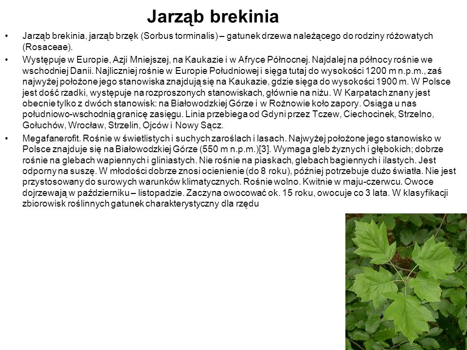Jarząb brekiniaJarząb brekinia, jarząb brzęk (Sorbus torminalis) – gatunek drzewa należącego do rodziny różowatych (Rosaceae).