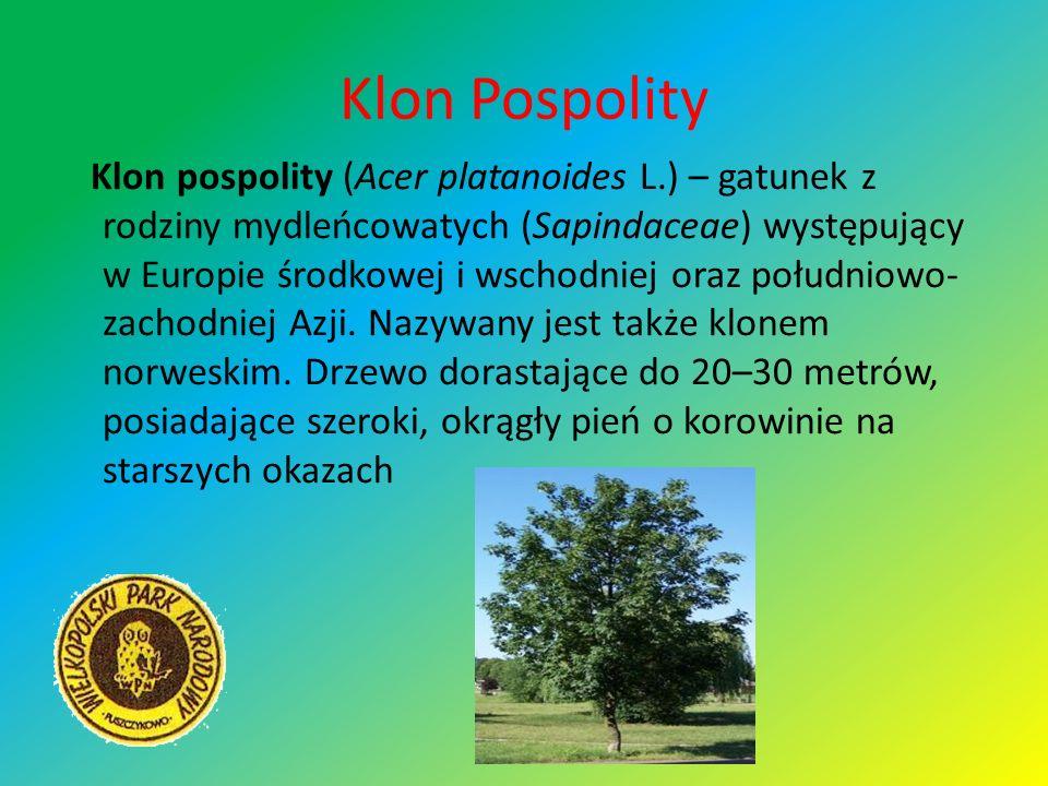 Klon Pospolity