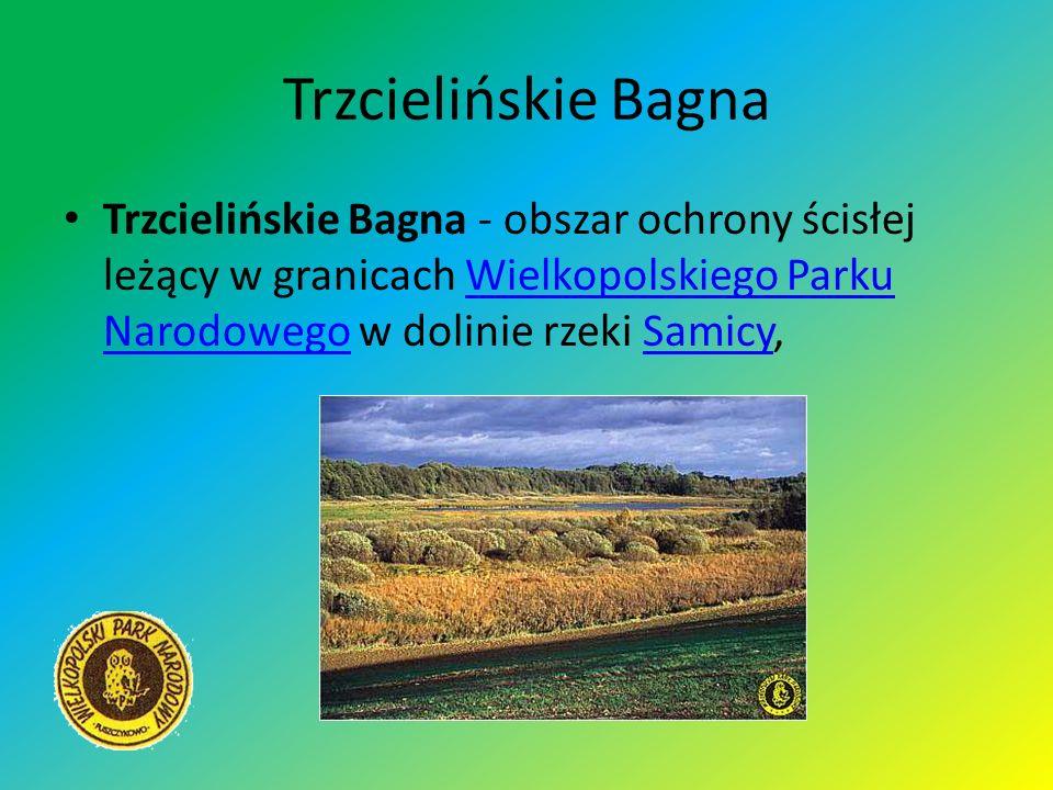 Trzcielińskie Bagna Trzcielińskie Bagna - obszar ochrony ścisłej leżący w granicach Wielkopolskiego Parku Narodowego w dolinie rzeki Samicy,