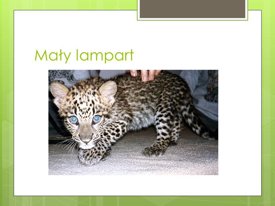 Mały lampart