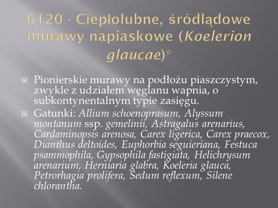 6120 - Ciepłolubne, śródlądowe murawy napiaskowe (Koelerion glaucae)*