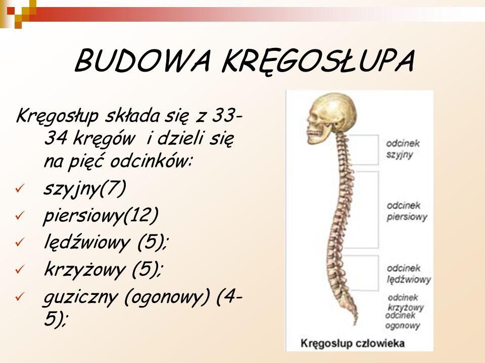 BUDOWA KRĘGOSŁUPA Kręgosłup składa się z 33-34 kręgów i dzieli się na pięć odcinków: szyjny(7) piersiowy(12)