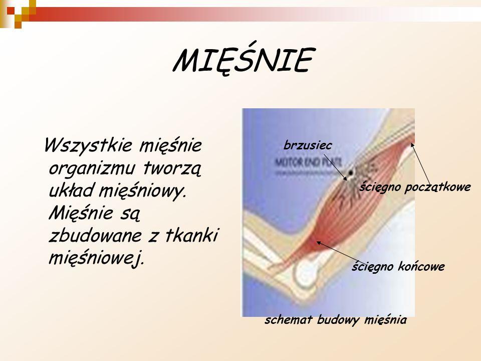 MIĘŚNIE Wszystkie mięśnie organizmu tworzą układ mięśniowy. Mięśnie są zbudowane z tkanki mięśniowej.