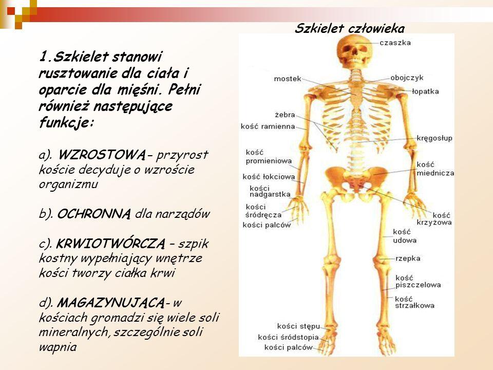 Szkielet człowieka 1.Szkielet stanowi rusztowanie dla ciała i oparcie dla mięśni. Pełni również następujące funkcje: