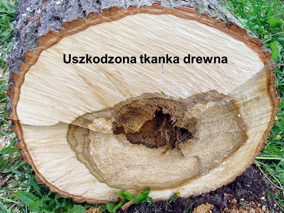 Uszkodzona tkanka drewna