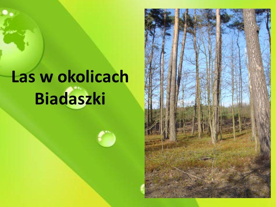 Las w okolicach Biadaszki