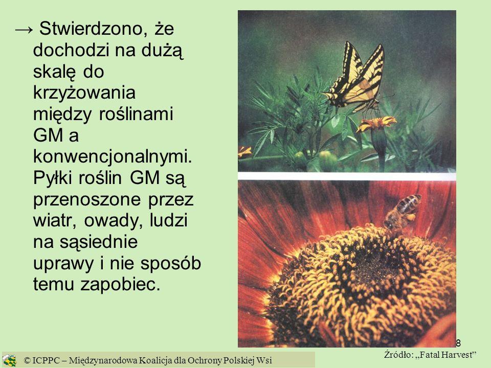→ Stwierdzono, że dochodzi na dużą skalę do krzyżowania między roślinami GM a konwencjonalnymi. Pyłki roślin GM są przenoszone przez wiatr, owady, ludzi na sąsiednie uprawy i nie sposób temu zapobiec.