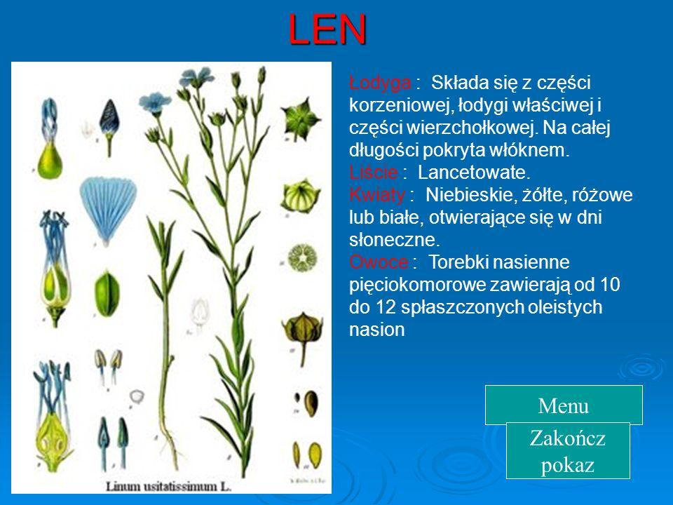 LEN Łodyga : Składa się z części korzeniowej, łodygi właściwej i części wierzchołkowej. Na całej długości pokryta włóknem.