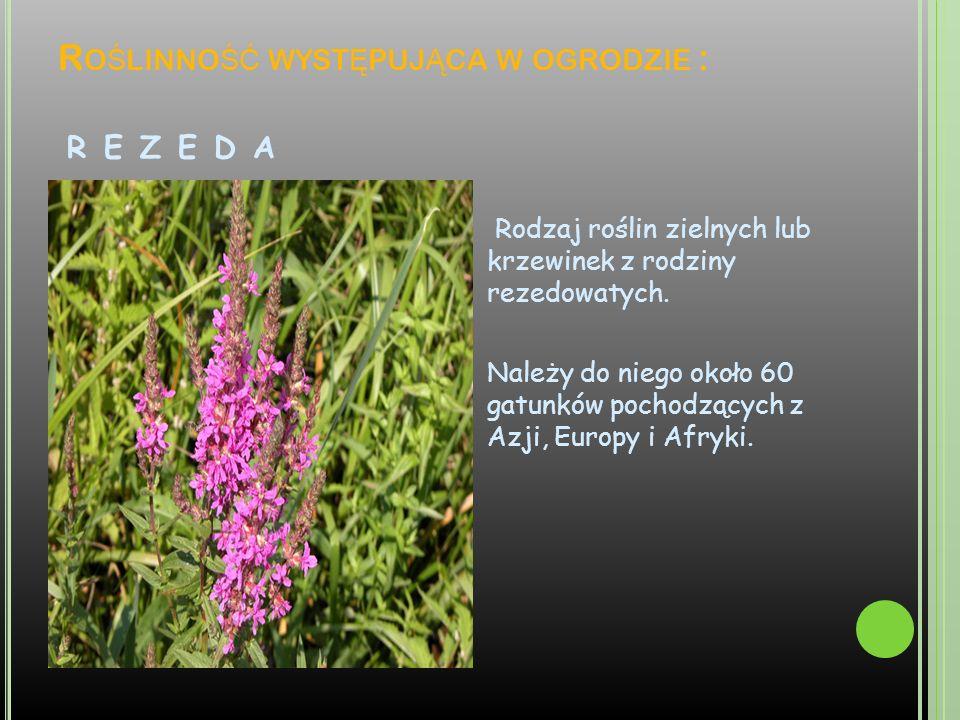 Roślinność występująca w ogrodzie : r e z e d a