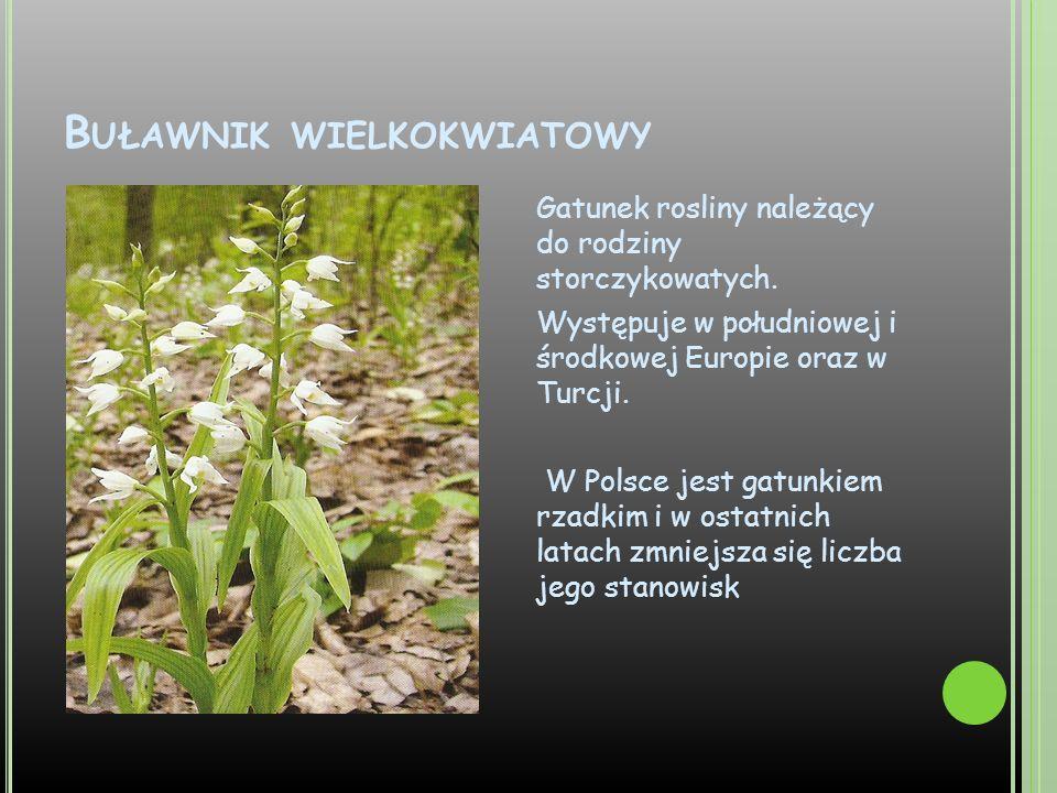 Buławnik wielkokwiatowy
