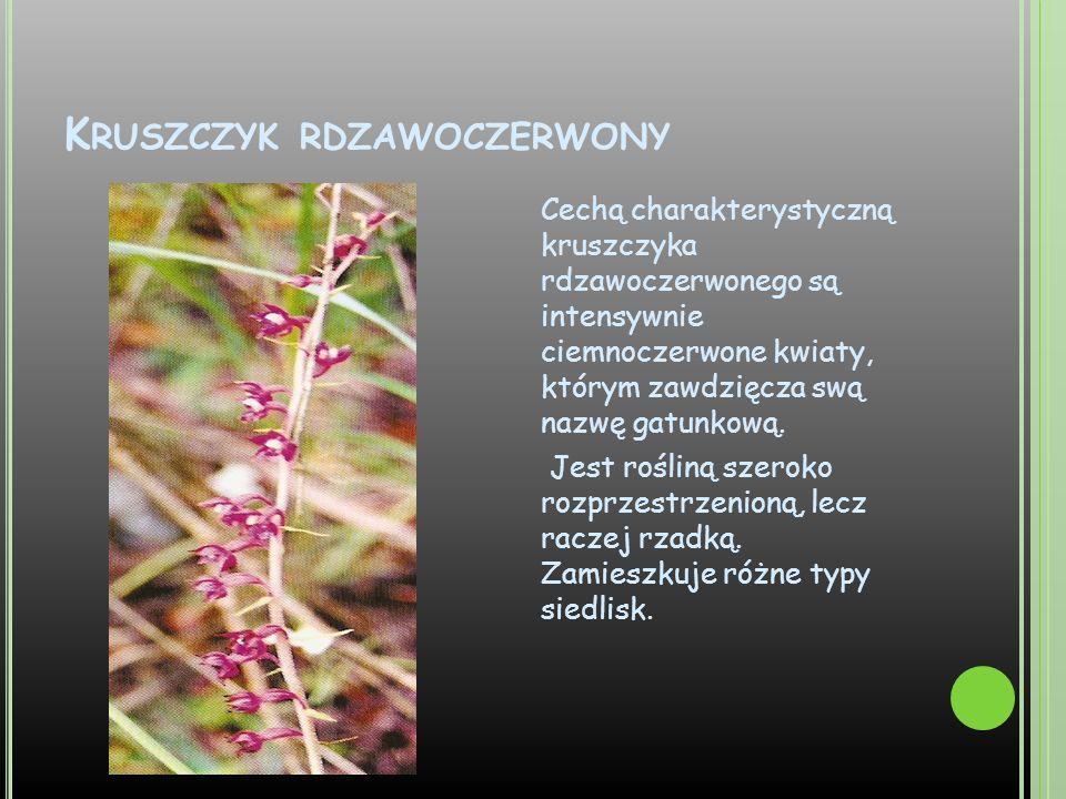 Kruszczyk rdzawoczerwony