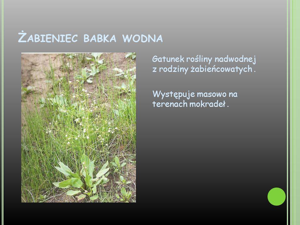 Żabieniec babka wodna Gatunek rośliny nadwodnej z rodziny żabieńcowatych .