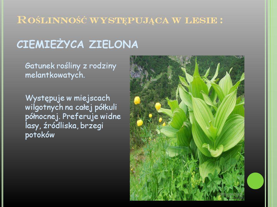 Roślinność występująca w lesie : CIEMIEŻYCA ZIELONA